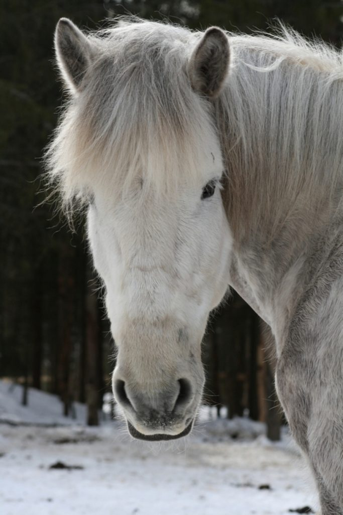 Ruska Laukan tallilla suomenhevosia Ruka-Kuusamossa
