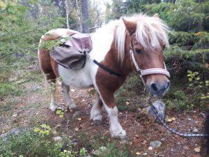 Sosiaalipedagoginen eläinavusteinen toiminta Ruska Laukan tallilla Ruka-Kuusamossa