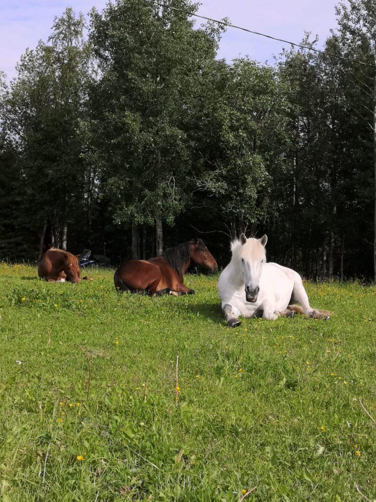 Ruska Laukan tallilla kavereiden kanssa hengailua ja kesä laidunnan alkamisen riemua Ruka-Kuusamossa