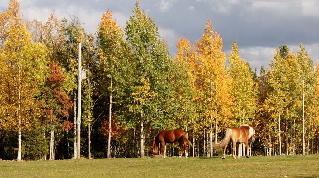 Metsätarhat, aukeat pellot sekä yhdessä asuminen pihatoissa tukevat hevosten hyvinvointia Ruska Laukan tallilla Ruka-Kuusamossa
