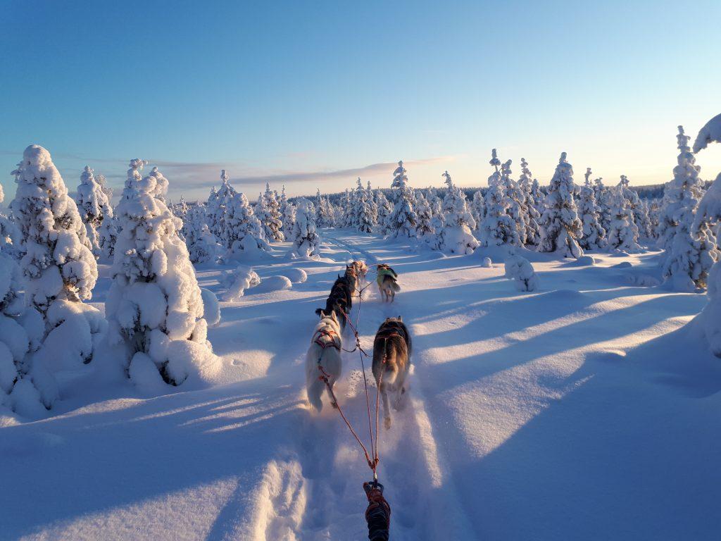 Laukan tallilla husky rekikoiria Ruka-Kuusamossa