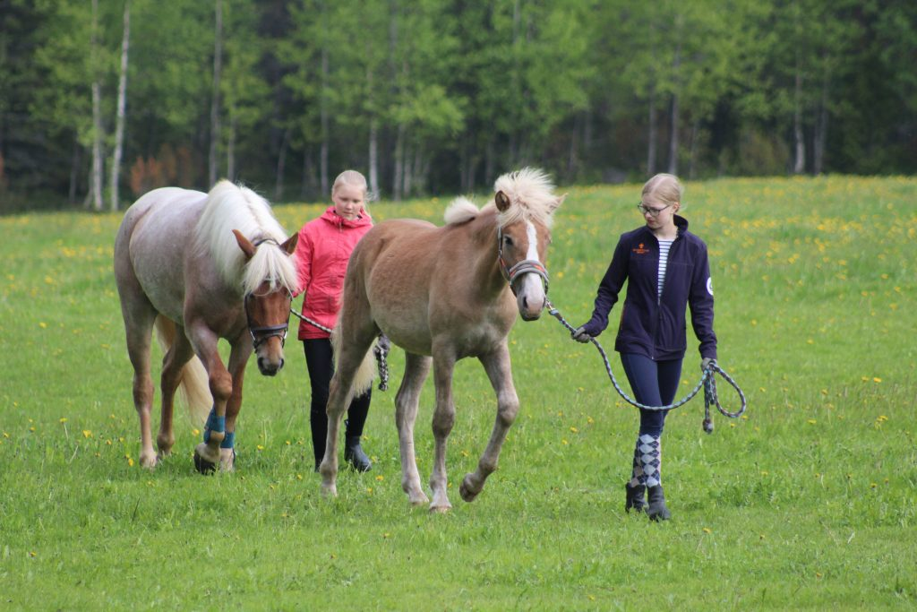 Tytöt taluttaa suomenhevosia laitumelta Ruska Laukka tallilla Kuusamossa