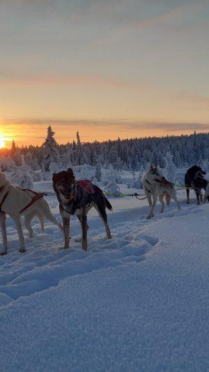 Koiravaljakkoajeluja Ruskan Laukan tallilla Ruka-Kuusamossa